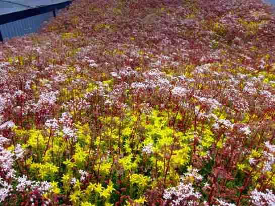 Flowering Sedum1